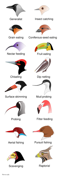 Bird Beaks classified birdpedia.png